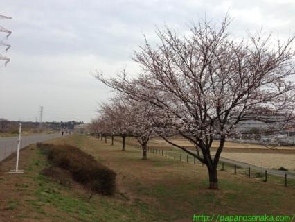2013_03_20 01 手賀沼サイクリングロードの桜