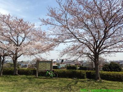 2014_03_29 03 上葛飾橋付近のソメイヨシノ?