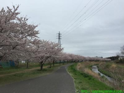 2015_04_04 08 大堀川リバーサイドパークのさくら