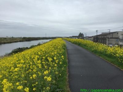 2015_04_04 03 流山本町辺りの菜の花