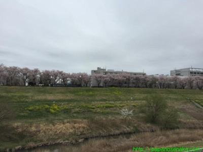 2015_04_04 07 東京理科大のさくら