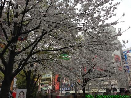 2013_03_23 02 ハチ公前の桜