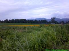 2010_08_13 ヒマワリ畑到着.jpg
