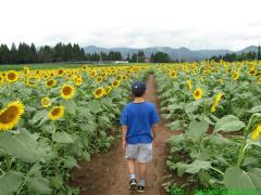 2010_08_13 津南ヒマワリ畑の迷路.JPG